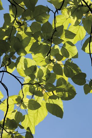 indian bean: Indian bean tree against clear sky,close up