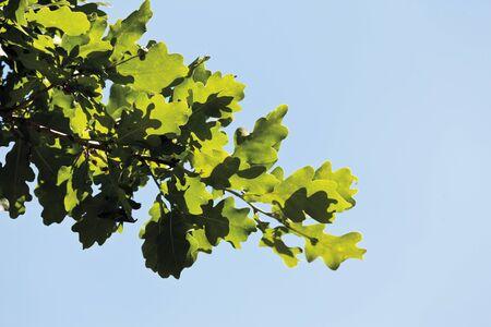 ���clear sky���: Turkey oak tree against clear sky,close up