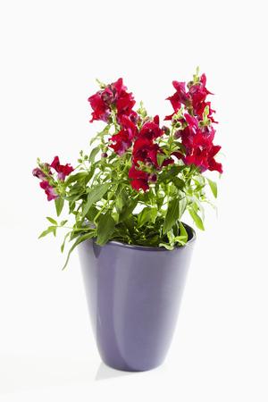 snapdragon: Antirrhinum, snapdragon, flowerpot Stock Photo