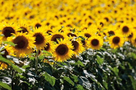 hesse: Germany,Hesse,Sunflower field in rhine Stock Photo