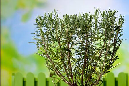 culinary: Culinary herb, copy space