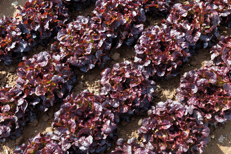cultivation: View of red Batavia lettuce cultivation