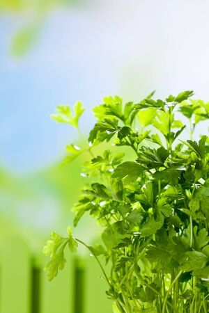culinary: Culinary herb, parsley, copy space
