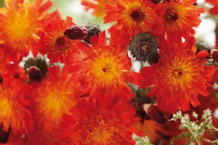 hawkweed: Orange hawkweed,close-up
