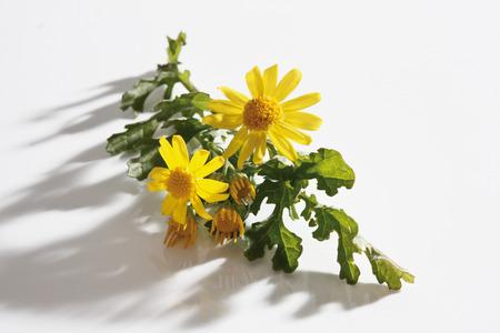 senecio: Ragwort flowers (Senecio jacobaea) Stock Photo