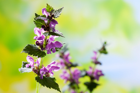 copy space: Spotted deadnettle, copy space