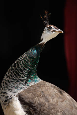 peahen: Germania, Peahen, close up