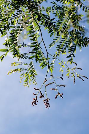 langosta: Langosta de miel contra el cielo, de cerca Foto de archivo
