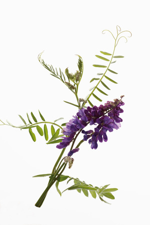 vetch: Tufted vetch against white background,close-up