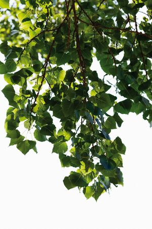 arbol alamo: Alemania, Vista del árbol de álamo negro, de cerca Foto de archivo