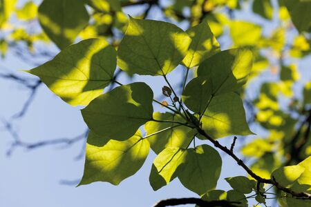 indian bean: Indian bean tree,close up Stock Photo