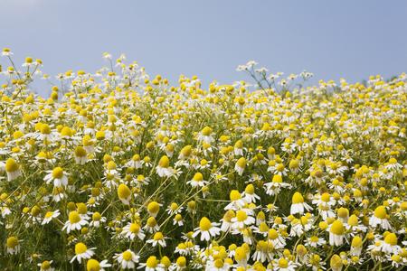 german chamomile: Germany, North Rhine-Westphalia, Chamomile