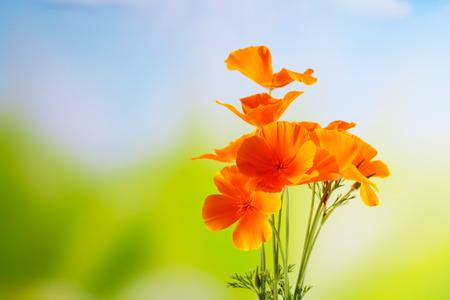 poppy: Amapola de California