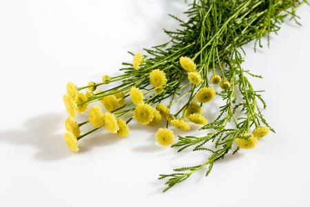 kulinarne: Zielona Santolina, kulinarne zioło Zdjęcie Seryjne