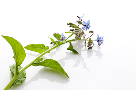 medical  plant: Borage, Borago officinalis, herb, medical plant