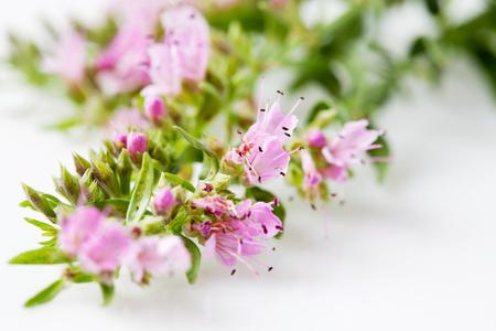 medical plant: Ysop , Hyssopus officinalis, medical plant Stock Photo