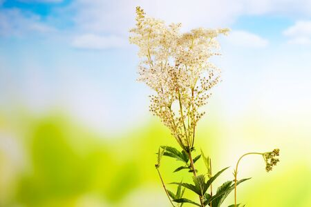 medical  plant: Meadowsweet, medical plant, aromatic plant