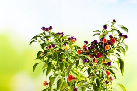 capsicum plant: Wild paprika, Capsium eximium, round fruits