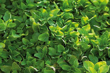 marjoram: Germany,Close up of golden marjoram plant