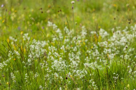 wildflowers: Germany, Bavaria, neglected grassland, grasses and wildflowers