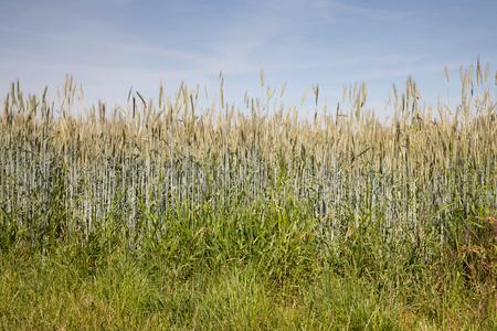 secale: Germany, North Rhine-Westphalia, grain field, rye field