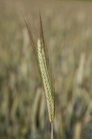 secale: Rye, spike, close-up Stock Photo
