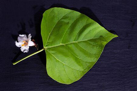 catalpa: Gold-Catalpa, Catalpa aurea, leaf and blossom