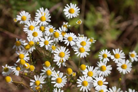 matricaria recutita: Fioritura camomilla, pianta medicinale