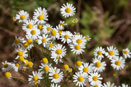 matricaria recutita: Flowering chamomile, medical plant