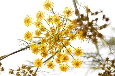 finocchio: Finocchio dolce, erbe medicinali