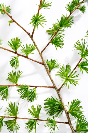 twig: Larch twig