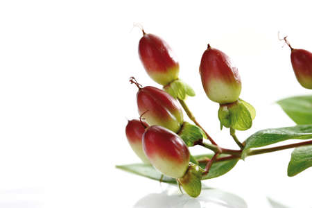spermatophyte: St.John´s Wort, (Hypericum perforatum)