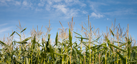 planta de maiz: Alemania, milpa