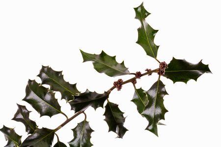 Twigs: Twig of a holly