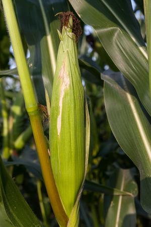 planta de maiz: Alemania, milpa, mazorca de maíz Foto de archivo