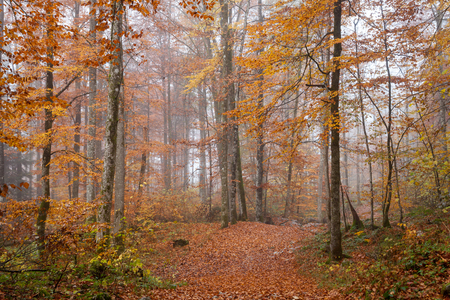 fog forest: Germany, Berchtesgadener Land, autumn forest, fog