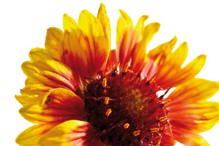 bicolored: Blanket flower (Gaillardia pulchella), close-up