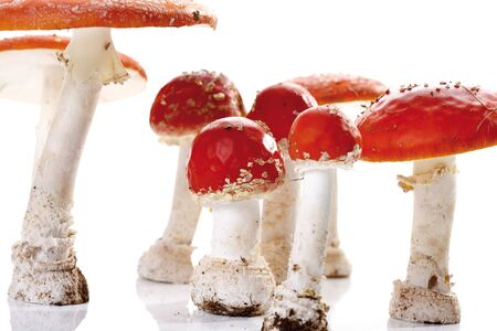 'fly agaric': Fly agaric mushrooms (Amanita muscaria)