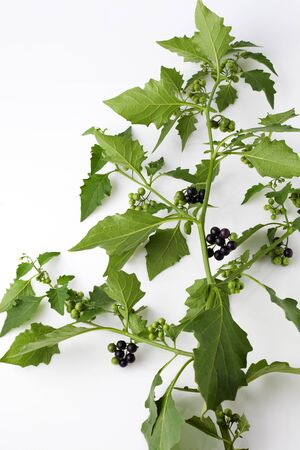 nightshade: Black nightshade, blossoms, fruits, leaves, poisonous plant Stock Photo