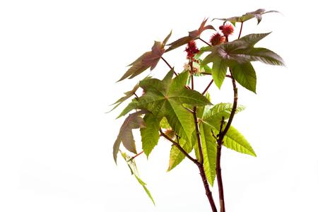 medical  plant: Ricino, Ricinus communis, planta medicinal