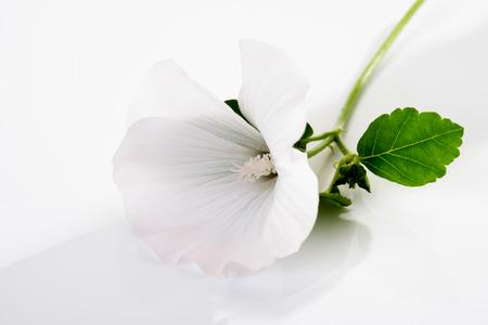 common marshmallow, blossom