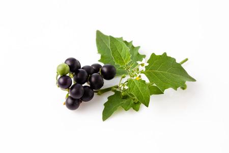 nightshade: Black nightshade, fruits, leaves, poisonous plant, white background