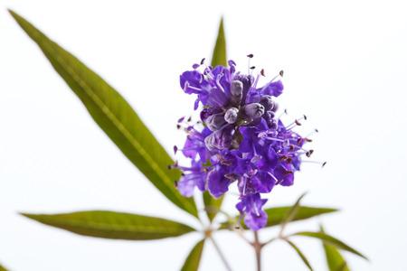 medical plant: Vitex, chaste tree, medical plant