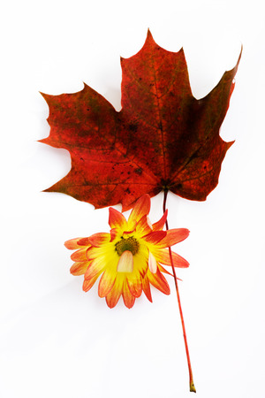 autumnally: Chrysanthemum and red maple leaf
