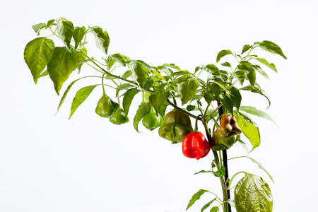 bell pepper: Bell pepper, white background