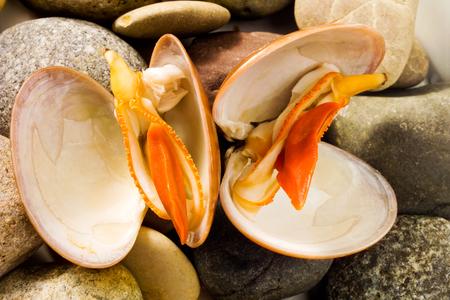 venus: Venus clams on stones