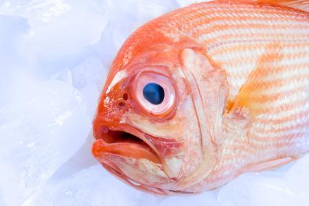 Deep sea perch, ice cubes, head, close-up Stock Photo