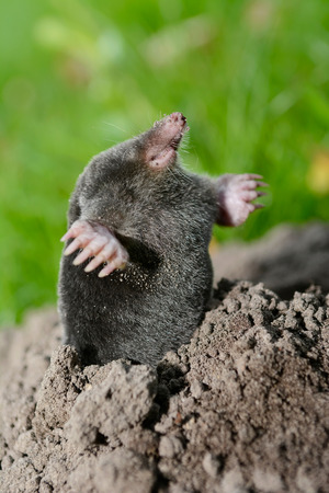 Mole Stock Photo - 45906758