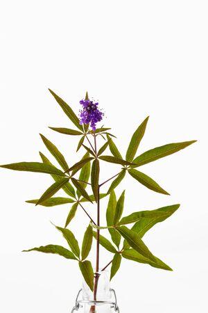 medical  plant: Vitex, �rbol casto, planta medicinal