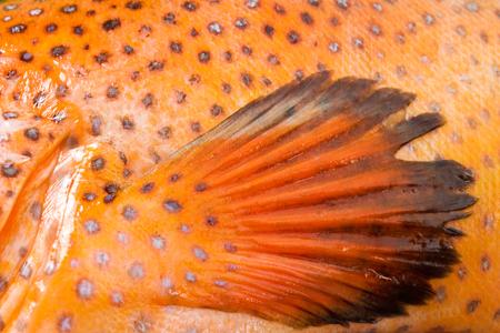close up food: Coral grouper, fin, food fish, close up